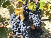 The Grapes of Barbaresco