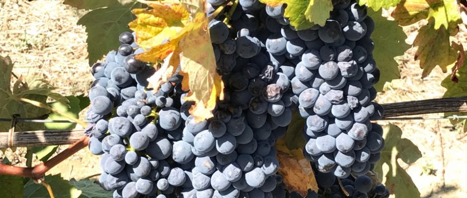 The Grapes of Barbaresco